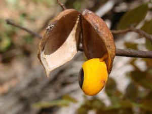 A copaíba tem 26 espécies encontradas no Brasil (Foto: João de Deus Medeiros)